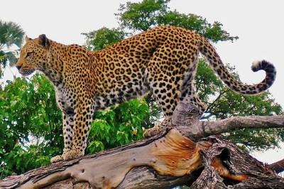 Macan Tutul, Kawasan Khusus Mendesak