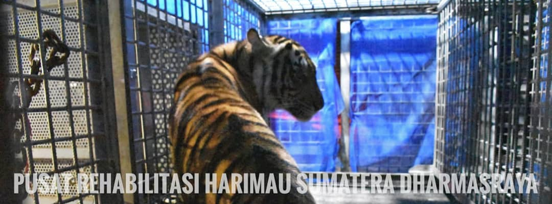 "Sumatran Tiger ""Ria"" : 30 Hours of Impactful Rescue"