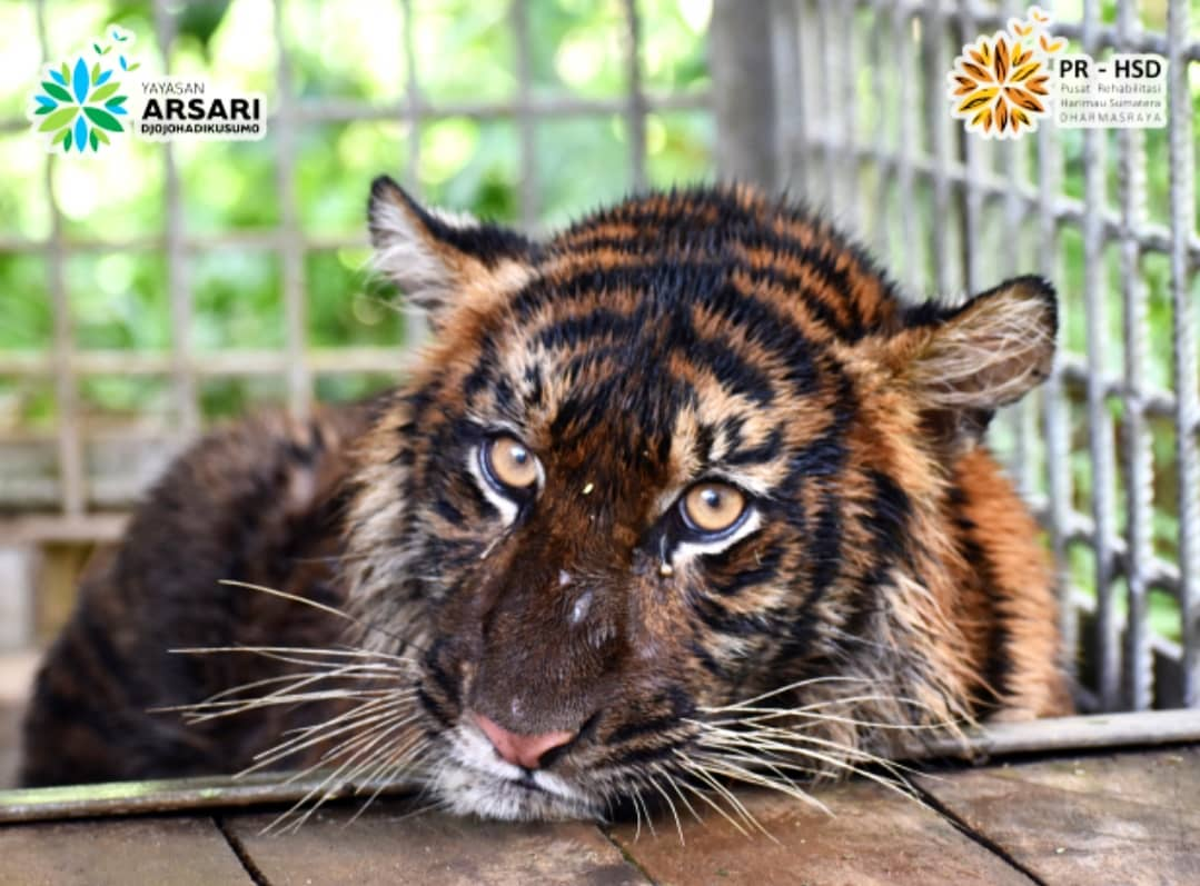 RESCUING SUMATRAN TIGER FROM CONFLICT