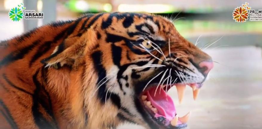 Aktivitas Harimau Sumatera Ria dan Corina di PR-HSD