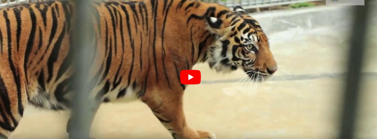 Proses Translokasi Harimau Sumatera Leony