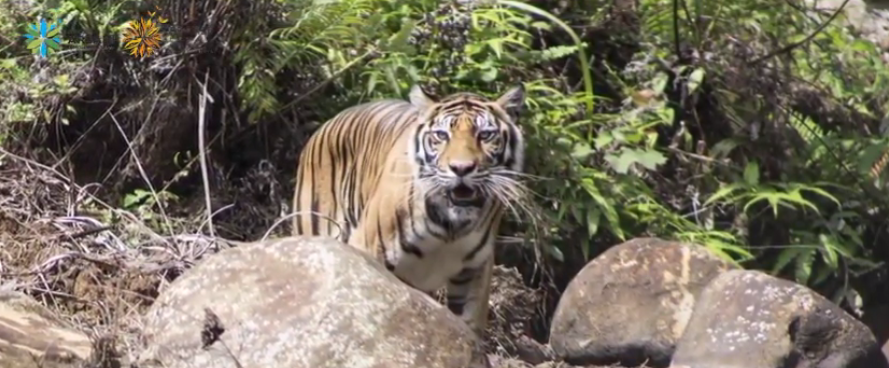 Pelepasliaran Harimau Sumatera Sopi Rantang di Rimbang Baling