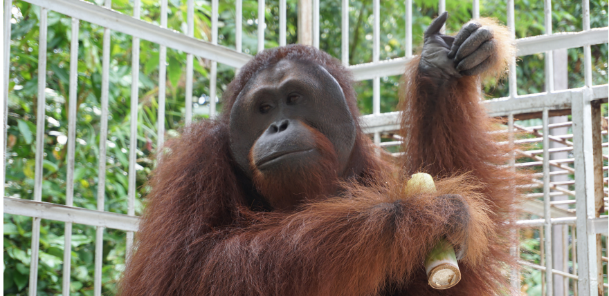 Newsletter Special International Orangutans Day