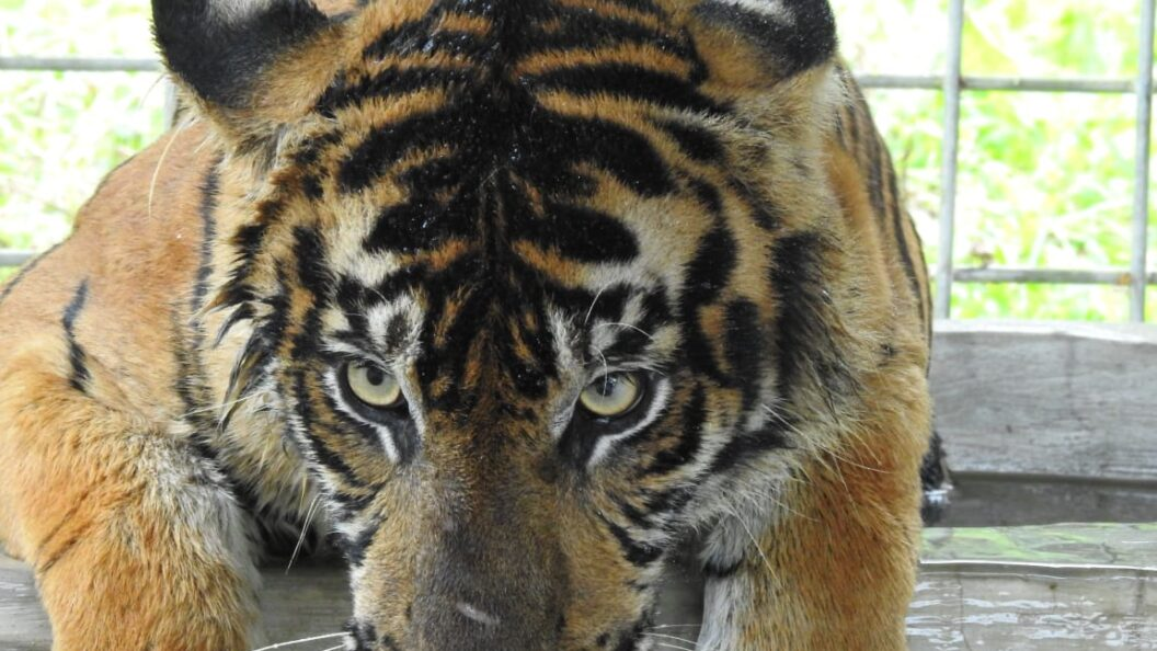 Another Wounded Tiger Evacuated from Riau
